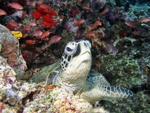 Green Turtle. A green turtle resting on a coral reef full of coral fishes stock photo