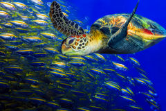 Free Green Turtle Stock Images - 35345394