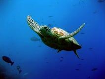 Green Turtle. Swimming in Sipadan, Borneo Royalty Free Stock Image