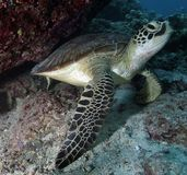 Green Turtle. Resting underneath hard coral royalty free stock photography