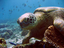 Green Turtle Stock Photography