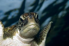 Green Turtle. These type of turtle are common around the reefs in Thailand Stock Images