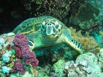 Green Turtle. Sleeping Green Turtle, Red Sea Royalty Free Stock Photo
