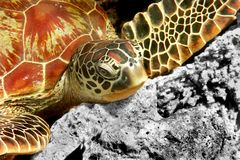Green turtle Royalty Free Stock Photos