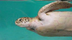green turtle in aquarium Mexico stock photo