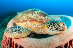 Green Turtle and barrel sponge Stock Images