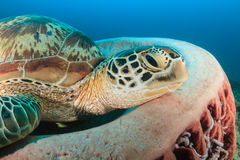 Green Turtle and barrel sponge Royalty Free Stock Images