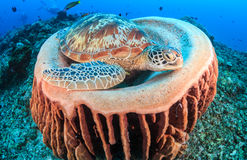 Green Turtle and barrel sponge Stock Photos