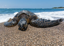 Green Turtle on the beach in Hawaii Royalty Free Stock Photography