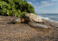 Green Turtle on the beach in Hawaii Royalty Free Stock Images