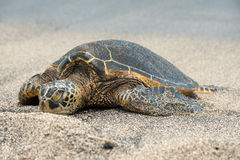 Green Turtle on the beach in Hawaii Royalty Free Stock Image