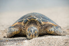 Green Turtle on the beach in Hawaii Stock Images