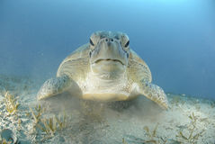 Green turtle on a bed of seagrass. Royalty Free Stock Image