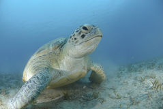 Green turtle on a bed of seagrass. Green Turtle (chelonia mydas), endangered species, Adult female resting on a bed of seagrass. Red Sea, Egypt Stock Image