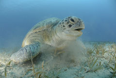 Green turtle on a bed of seagrass. Green Turtle (chelonia mydas), endangered species, Adult female resting on a bed of seagrass. Red Sea, Egypt Royalty Free Stock Image