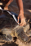 Green turtle being measured and tagged