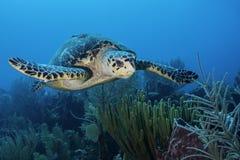 Green Turtle. In Belize Barrier Reef Stock Photos
