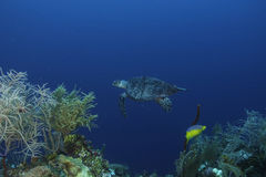 Green Turtle. In Belize Barrier Reef Royalty Free Stock Images