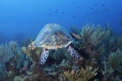 Green Turtle. In Belize Barrier Reef Stock Photo