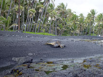 Green turtle. Black sand beach Hawaii tropical ocean palm-tree Stock Photography