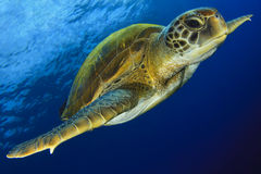 Green Turtle in the blue Stock Image