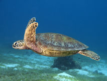 Green turtle. In Bohol sea, Phlippines Islands royalty free stock photo