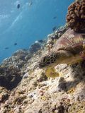 Green Turtle on Bunaken reeftop Stock Image