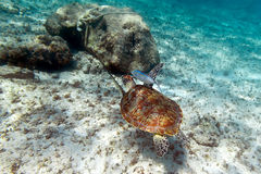 Green turtle in Caribbean sea. Green turtle in nature of Caribbean sea Stock Photos