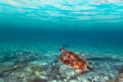 Green turtle in Caribbean sea. Green turtle in nature of Caribbean sea Stock Photography