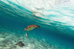 Green turtle in Caribbean sea. Green turtle in nature of Caribbean sea Royalty Free Stock Images