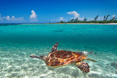 Green turtle in Caribbean Sea scenery. Of Mexico Royalty Free Stock Photo