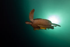 Green turtle (chelonia midas) in the Red Sea. Stock Photography