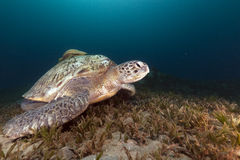 Green turtle (chelonia midas) and trevally in the Red Sea. Royalty Free Stock Photography