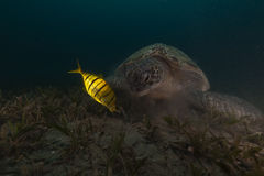 Green turtle (chelonia midas) and trevally in the Red Sea. Royalty Free Stock Image