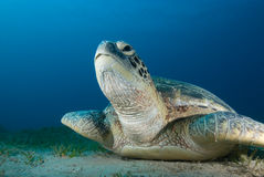 Green turtle (Chelonia mydas) Royalty Free Stock Photos