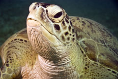 Green turtle (chelonia mydas). In na'ama bay Royalty Free Stock Photos
