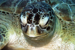 Green turtle (chelonia mydas) Stock Photos