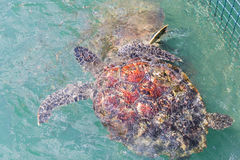 Green turtle (Chelonia mydas) feed in coop Stock Photography