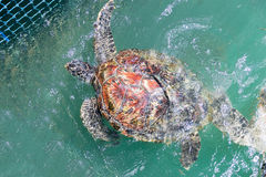 Green turtle (Chelonia mydas) feed in coop Royalty Free Stock Images