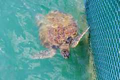 Green turtle (Chelonia mydas) feed in coop Royalty Free Stock Image