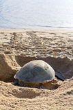 Turtle laying eggs on the beach. Stock Photos