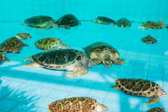 Green turtle or Chelonia mydas in pond Royalty Free Stock Photography