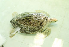 Green turtle or Chelonia mydas Stock Image