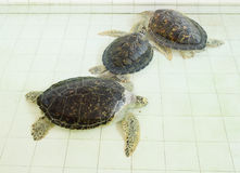 Green turtle or Chelonia mydas in pond Stock Photo