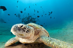 Green turtle (chelonia mydas) in the Red Sea. Royalty Free Stock Image