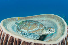 Green turtle (chelonia mydas) resting in songe. An endangered green turtle (chelonia mydas) sitting in a huge sponge royalty free stock photos