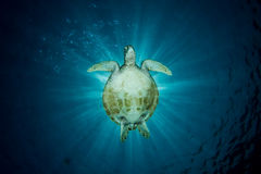 Green Turtle - Chelonia mydas Royalty Free Stock Photo