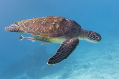 Green Turtle (Chelonia mydas) at Similan island, Thailand Stock Photos