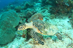 Green turtle with chip Royalty Free Stock Images