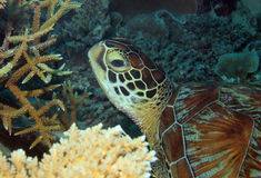 Green Turtle Close-up Royalty Free Stock Image